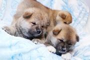 милые щенки акиты (Тигровые и рыжие)