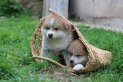 Милые щеночки Акиты-ину от самих ЧЕМПИОНОВ